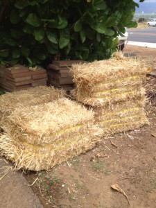 Straw bales for sweet potato garden beds