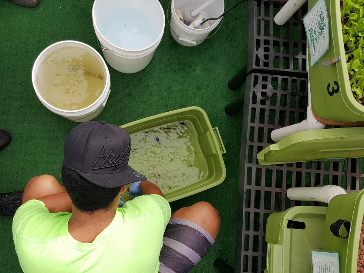 aquaponics a growing field maui hui malama
